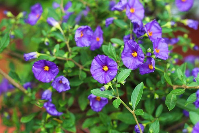 Solanum rantonnetii, Blue Potato Bush, Lycianthes rantonnetii, evergreen shrub, evergreen potato vine, purple flowers, Blue Flowers