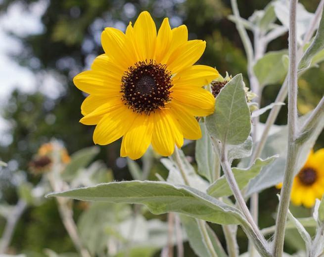Helianthus argophyllus, Silverleaf Sunflower, Yellow Flowers, Yellow Perennials, Silver Foliage, Perennial Sunflower
