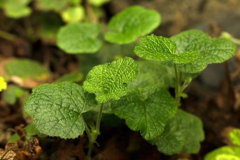 Rubus calycinoides, Creeping Taiwan Bramble, Crinkle-Leaf Creeper, Yü-Shan Raspberry, Rubus pentalobus, Rubus rolfei, Evergreen groundcover