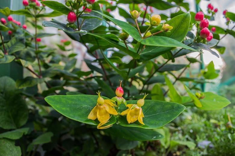 Hypericum x hidcoteense 'Hidcote', St. John's Wort 'Hidcote', Hypericum patulum 'Hidcote', Hypericum 'Hidcote', Hypericum 'Hidcote Gold', Evergreen Shrub, yellow flowers, Hypericum, St John's Wort