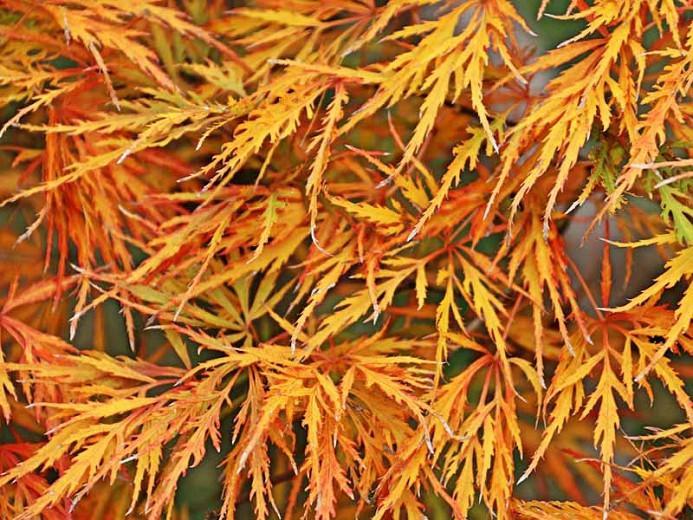 Acer palmatum Dissectum Viride Group, Japanese Maple 'Viridis', Laceleaf Japanese Maple 'Viridis', Cutleaf Japanese Maple 'Viridis', Threadleaf Japanese Maple 'Viridis', Acer palmatum 'Dissectum Viridis', Acer palmatum var. dissectum 'Viridis', Acer 'Viridis', Fall Color, Japanese Maple