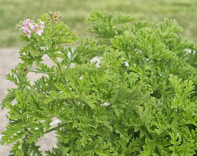 Pelargonium Citronella Scented Geranium
