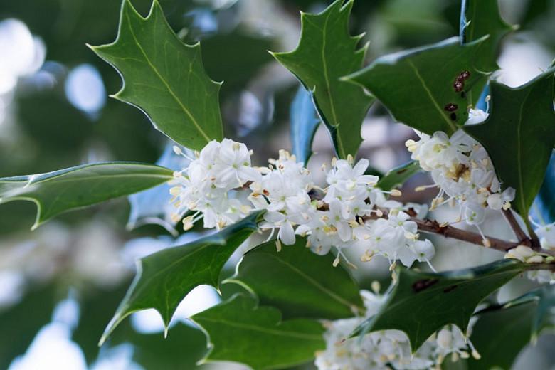 Osmanthus heterophyllus, Holly Osmanthus, Holly Olive, Chinese Holly, False Holly, Fragrant Shrub, Fragrant Tree