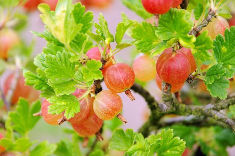 Ribes uva-crispa 'Pixwell', Gooseberry 'Pixwell', Pixwell Gooseberries, Pink Berries, Pink Currants, Fruit Shrub