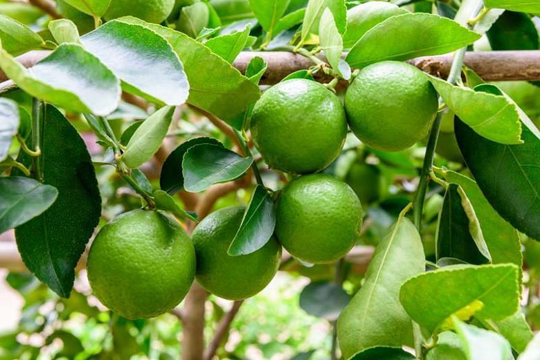 Citrus × latifolia, Persian Lime, Tahiti Lime, Bearss Lime, Seedless Lime