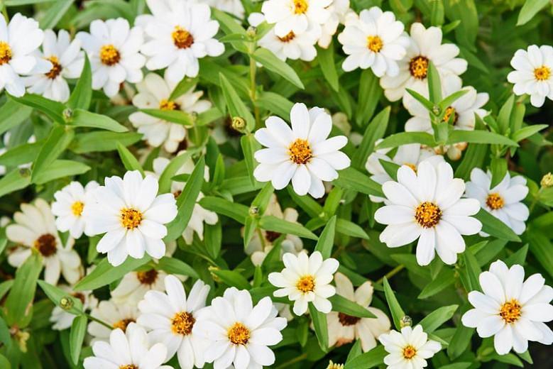 Zinnia Profusion White, Zinnia Elegans Profusion White, Zinnia Angustifolia Profusion White, White Zinnia, White Flowers, Drought tolerant plants, heat tolerant plants, Humidity tolerant plants, Low maintenance plants