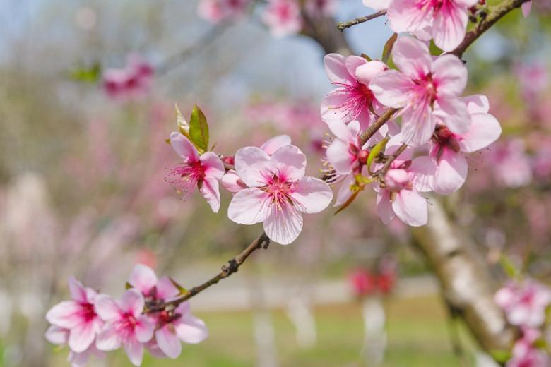 Prunus persica 'Harvester', Peach 'Harvester', Peach Tree, Flowering Tree, Fruit Tree