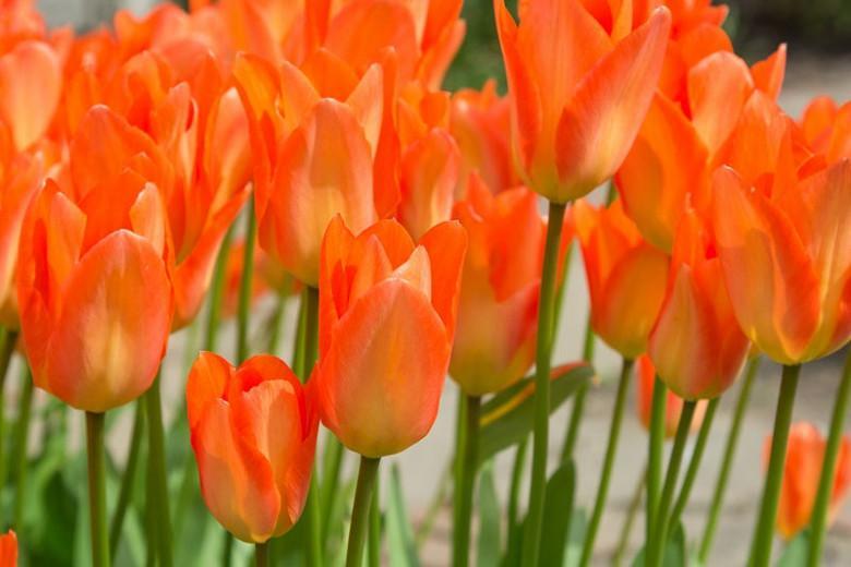Tulipa Orange emperor, Tulip 'Orange Emperor', Fosteriana Tulip 'Orange Emperor', Fosteriana Tulips, Spring Bulbs, Spring Flowers, Tulipe Orange emperor, Spring Bloom, Mid Spring bloom, orange tulips