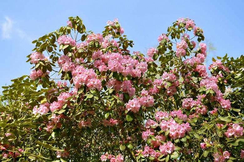 Rhododendron 'Christmas Cheer', 'Christmas Cheer' Rhododendron, Early Season Rhododendron, Pink Rhododendron, Pink Flowering Shrub, Evergreen Rhododendron