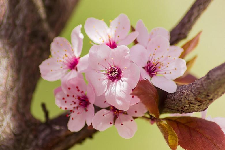 Prunus cerasifera 'Nigra',Black Cherry Plum, Prunus 'Blaze', Prunus 'Pissardii Nigra', Flowering Tree, Pink flowers, pink prunus