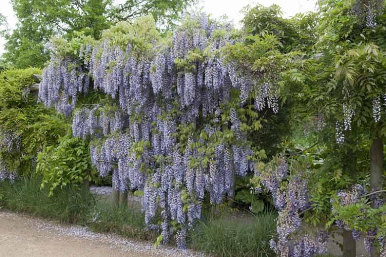 Wisteria Floribunda 'Macrobotrys',Japanese Wisteria 'Macrobotrys', Wisteria floribunda 'Multijuga', Japanese wisteria 'Multijuga',Fragrant Vines, Blue Wisteria, Purple Wisteria