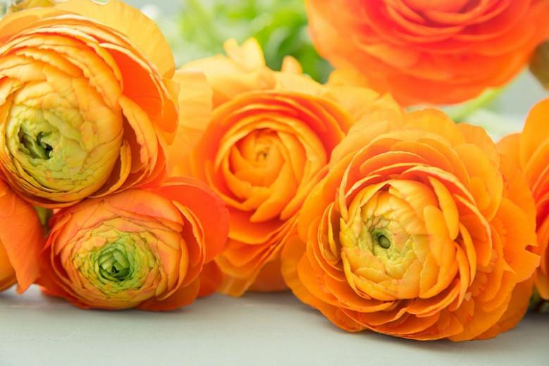 Persian buttercup Tecolote Orange, Ranunculus Asiaticus Tecolote Orange, Turban Buttercup Tecolote Orange, Persian Crowfoot Tecolote Orange, spring flowering bulb, fall flowering bulb, Orange flowers, Orange Ranunculus
