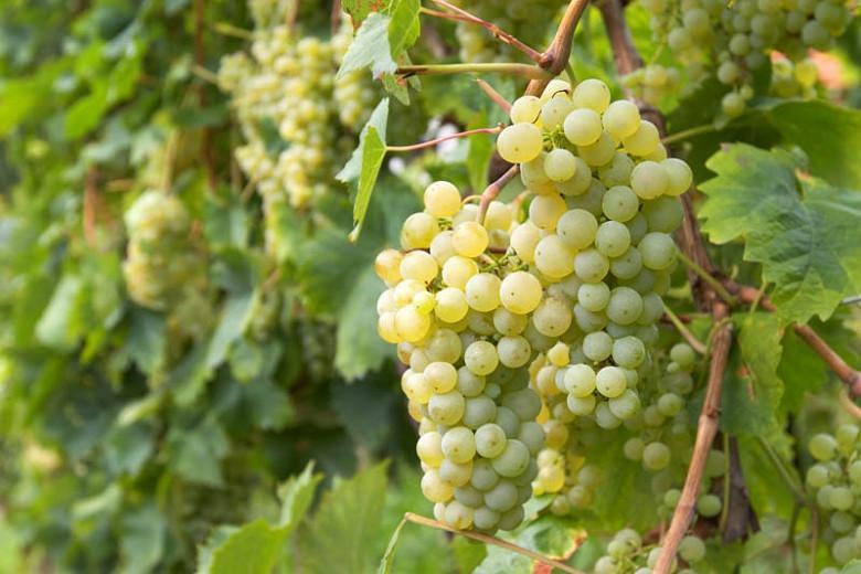 Vitis 'Brianna', Grape 'Brianna', Brianna Grape, Grape Vines, White Grapes, Seedless Grapes