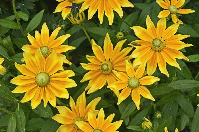 Gloriosa Daisy Prairie Sun, Rudbeckia Prairie Sun, Rudbeckia hirta Prairie Sun, Award winning perennial, yellow flowers