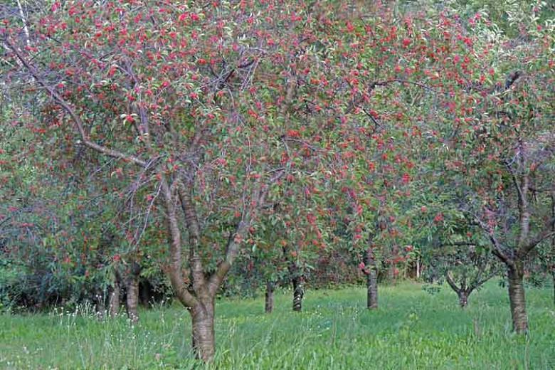 Prunus cerasus 'Montmorency',Tart Cherry 'Montmorency', Sour Cherry 'Montmorency', Dwarf Cherry 'Montmorency', White flowers, Spring Flowers, Cherry tree, Cherries, Red Cherries, Fruit tree