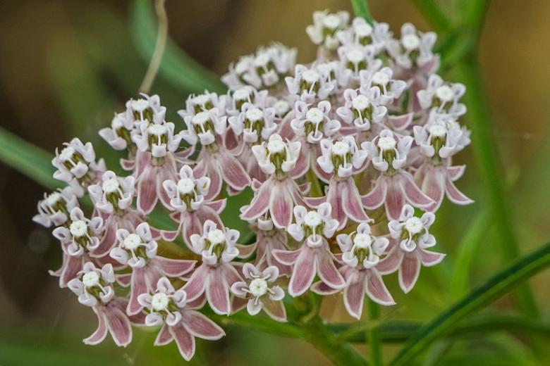 Asclepias fascicularis, Narrowleaf Milkweed, Narrow Leaf Milkweed, Mexican Whorled Milkweed, Pink flowers, Lavender Flowers