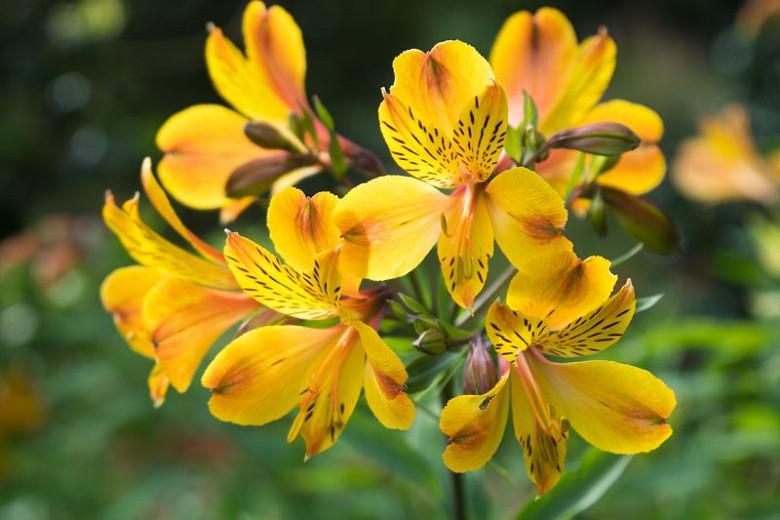 Alstroemeria Aurea Peruvian Lily