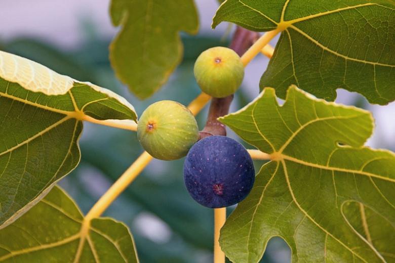 Ficus carica 'Brown Turkey', Fig 'Brown Turkey', Brown Turkey Fig, Figs, Fruit Trees