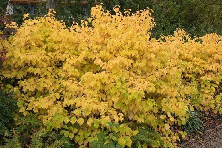 Cornus Sanguinea 'Magic Flame', Bloodtwig Dogwood 'Magic Flame', European Dogwood 'Magic Flame', Dogwood 'Magic Flame', Deciduous Shrubs, Foliage, Fall color, Winter color, Red bark, Orange Bark, Berries