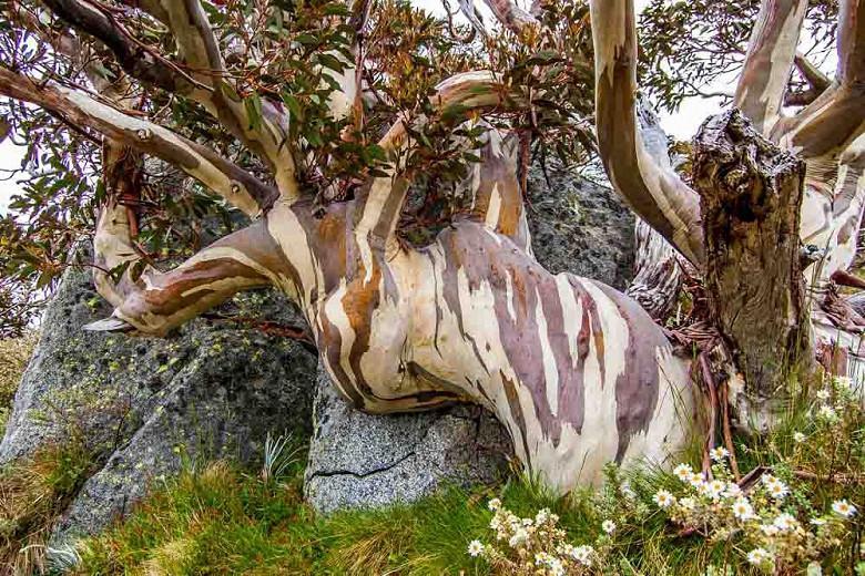 Eucalyptus pauciflora, Snow Gum, White Sallee, Cabbage Gum, Weeping Gum, Flooded Gum, Ghost Gum, Peppermint, Swamp Gum, Evergreen Tree, Bark, White Bark