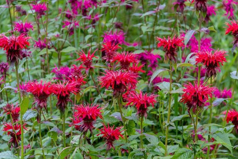 Monarda 'Fireball',Bee Balm 'Fireball', Bergamot 'Fireball', red Monarda, red bee balm, red flowers