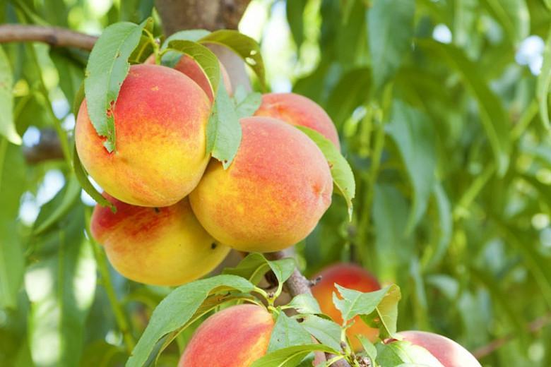 Prunus persica 'Bonanza', Peach 'Bonanza', Peach Tree, Flowering Tree, Fruit Tree