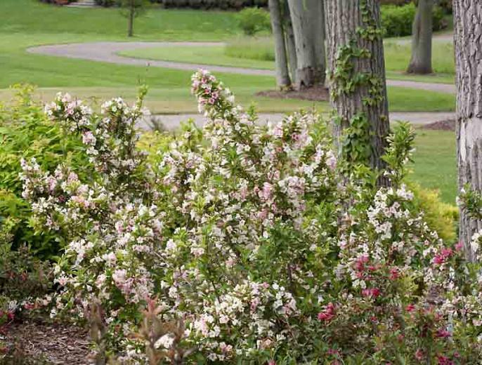 Weigela florida Sonic Bloom® Pearl, Sonic Bloom Pearl Weigela, Flowering Shrub, White Flowers, Pink Flowers