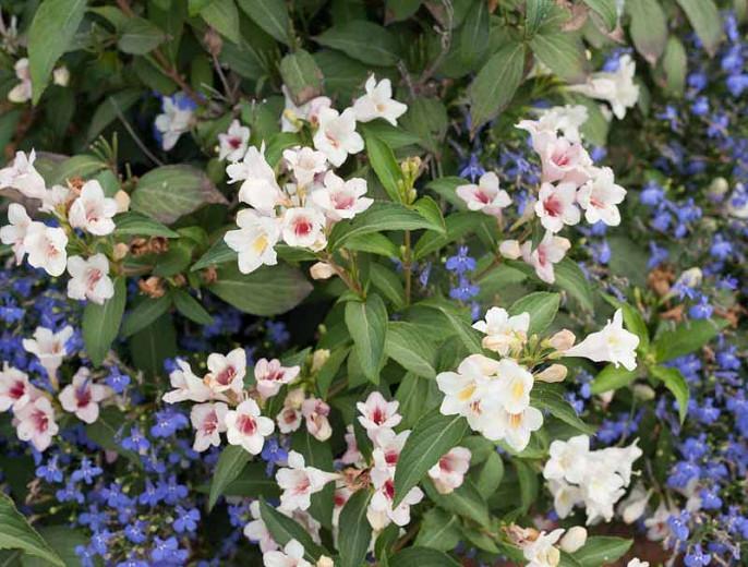 Weigela florida 'Sonic Bloom Pearl', Sonic Bloom Pearl Weigela, Flowering Shrub, White Flowers, Pink Flowers