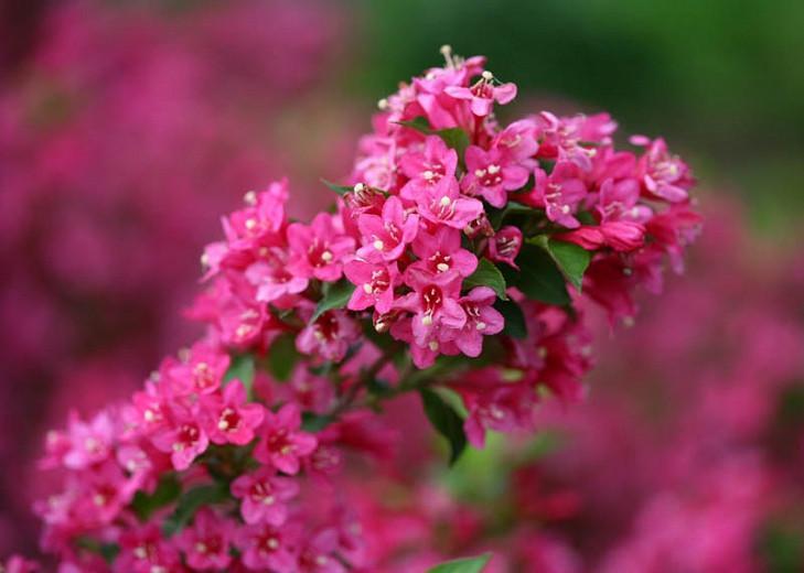 Weigela florida 'Sonic Bloom Pink', Sonic Bloom Pink Weigela, Flowering Shrub, Flowers, Pink Flowers