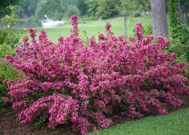 Weigela florida Sonic Bloom® Pink, Sonic Bloom Pink Weigela, Flowering Shrub, Flowers, Pink Flowers