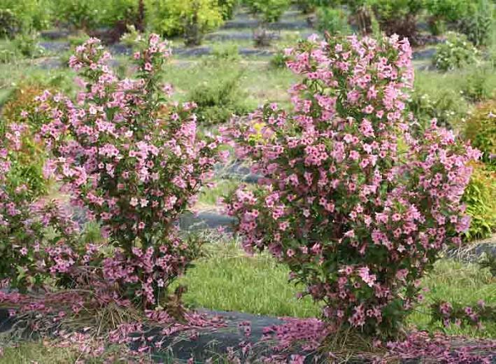 Weigela florida Sonic Bloom® Pure Pink, Sonic Bloom Pure Pink Weigela, Flowering Shrub, Flowers, Pink Flowers