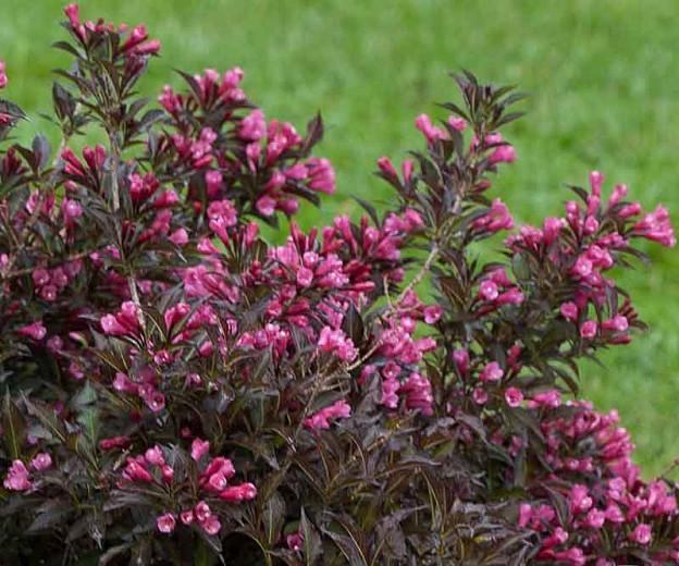 Weigela florida 'Spilled Wine', Spilled Wine Weigela, Flowering Shrub, Pink Flowers, Dark foliage, Black foliage, Black Leaves, Dark Leaves