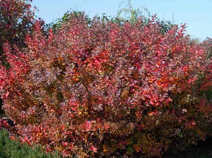 Spiraea betulifolia 'Tor', Birchleaf Spirea 'Tor', Tor Birchleaf Spirea, White Flowers, Gold Foliage, Red Foliage