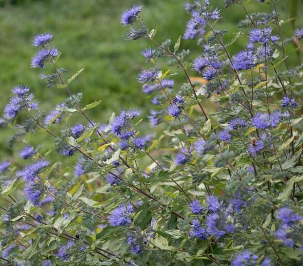 Caryopteris incana 'Jason' Sunshine Blue®, Bluebeard 'Jason', Bluebeard 'Sunshine Blue®', Blue Spiraea 'Jason', Blue Spiraea 'Sunshine Blue®', Blue Flowers, Blue Spiraea