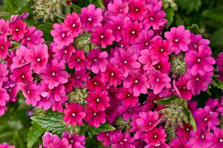 Verbena 'Superbena Burgundy', Trailing Verbena 'Superbena Burgundy', Glandularia 'Superbena Burgundy', Verbena 'Usbenal5', Superbena Series, purple verbena, Drought tolerant plants