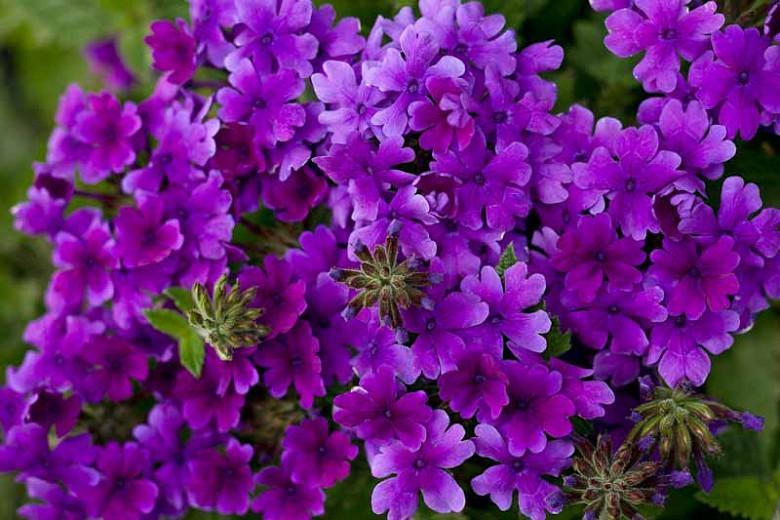 Verbena 'Superbena Dark Blue', Trailing Verbena 'Superbena Dark Blue', Glandularia 'Superbena Dark Blue', Verbena 'Usbenal8', Superbena Series,Blue verbena, Drought tolerant plants