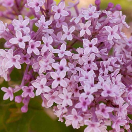 Syringa Josee, Lilac 'Josee', Syringa 'Morjos 060f', Syringa vulgaris 'Josee' , Bicolor Lilac, Pink lilac, Fragrant Lilac