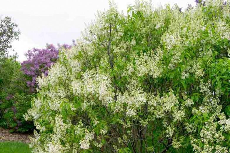 Syringa vulgaris 'Primrose',Syringa 'Primrose', Lilac 'Primrose', Yellow lilac, Fragrant Lilac, Yellow Flowers, Fragrant Shrub, Fragrant Tree