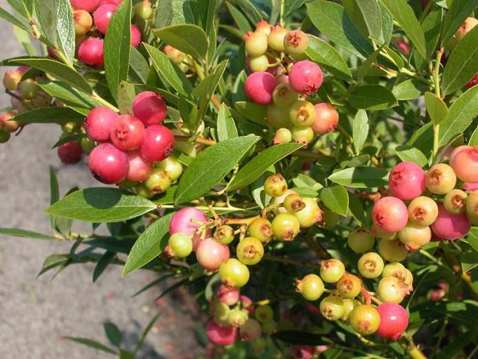 Vaccinium Pink Lemonade, Highbush Blueberry 'Pink Lemonade', Blueberry 'Pink Lemonade', Berries, Pink Blueberries