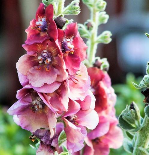 Verbascum 'Cherry Helen', 'Cherry Helen' Mullein, Verbascum x hybrida 'Cherry Helen', Pink flowers, Red flowers,  Architectural plants, Vertical Plants, Deer Tolerant perennials,