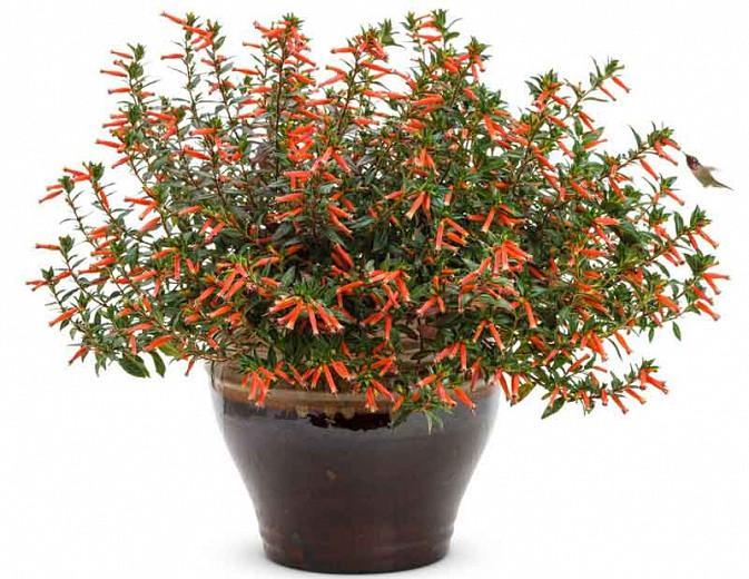 Cuphea 'Vermillionaire', Large Firecracker Plant 'Vermillionaire', Vermillionaire Cuphea, Orange Firecracker, Orange Cuphea, Orange Flowers