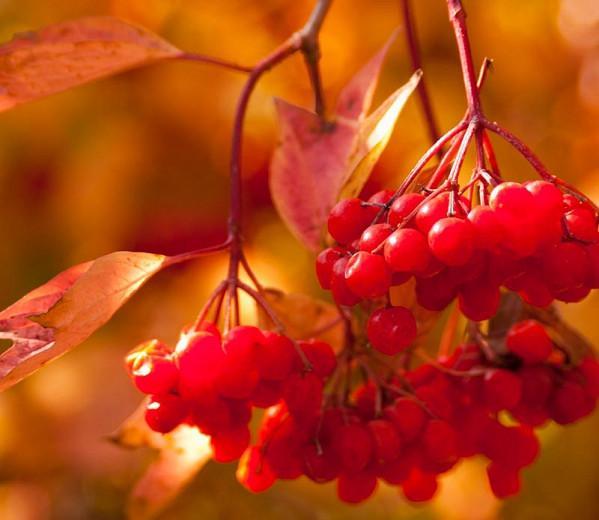 Viburnum Trilobum 'Redwing',American Cranberrybush 'Redwing', Vuburnum trilobum 'J. M. Select' Redwing, 'Redwing' American Cranberrybush, Shrub with fall color, fall color, shrub with berries