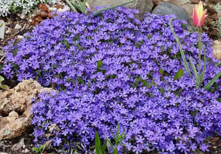 Phlox Violet Pinwheels, Phlox Violet Pinwheels, Alpine Phlox Violet Pinwheels, Moss Phlox Violet Pinwheels, Creeping phlox Violet Pinwheels, Blue Phlox, Blue flowers, Violet flowers, Violet Phlox