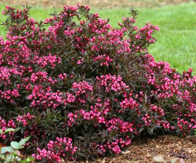 Weigela florida Spilled Wine®, Spilled Wine Weigela, Flowering Shrub, Pink Flowers, Dark foliage, Black foliage, Black Leaves, Dark Leaves