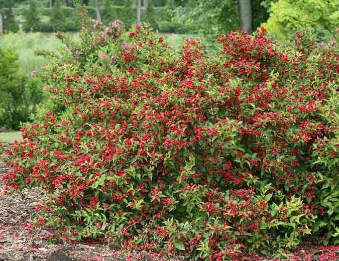 Weigela florida Sonic Bloom® Red, Sonic Bloom Red Weigela, Flowering Shrub, Red Flowers