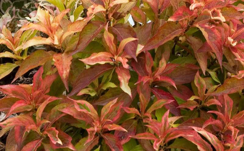 Weigela florida 'My Monet Sunset', My Monet Sunset Weigela, Flowering Shrub, Pink Flowers, Variegated foliage, Red foliage, Red Leaves, Orange Foliage, Orange Leaves