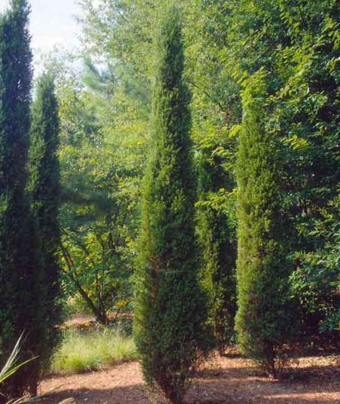 Juniperus Chinensis 'Spartan' (Chinese Juniper