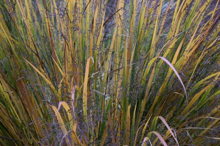 Panicum Virgatum Northwind Switch Grass