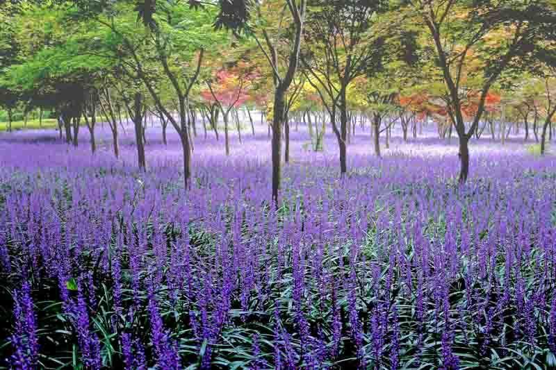 Liriope Muscari Blue Lily Turf