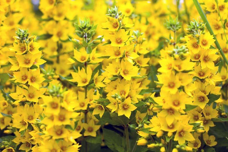 Lysimachia Punctata Yellow Loosestrife